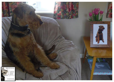 Rufus the Airedale
