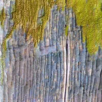 Lime lichen