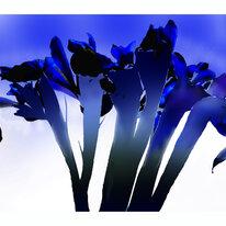 Stalking Iris