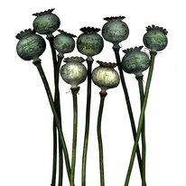 Dead Poppy Heads