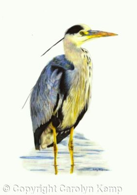 7. Grey Heron - silently watching