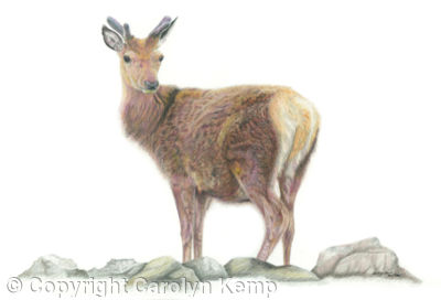 18. Red Deer - Solitary figure