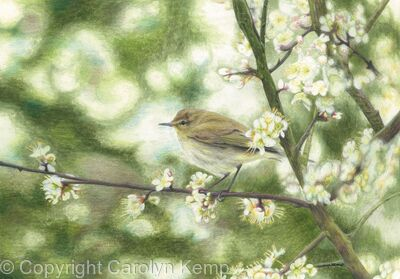 55. Chiffchaff – An unmistakable song