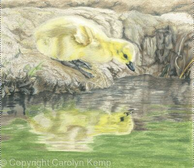 57. Canada Goose chick – a beautiful gosling
