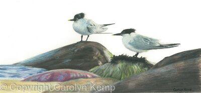 68. Sandwich Terns – Taking a breather
