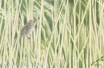 84. Sedge Warbler – A gentle breeze