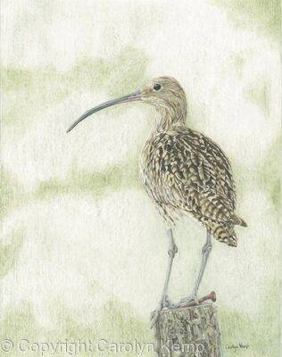 91. Curlew - Sentinel