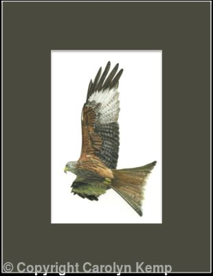 27. Red Kite - Enjoying the updraft