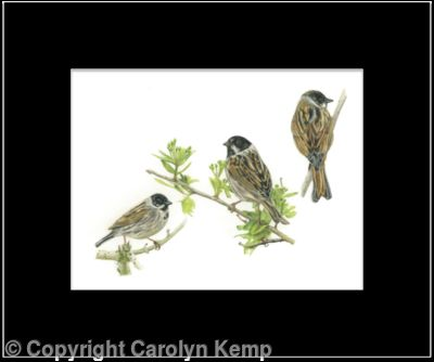66. Reed Bunting – from every angle