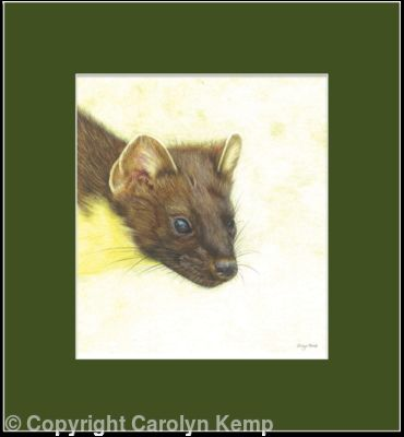 72. Pine Marten – An able hunter