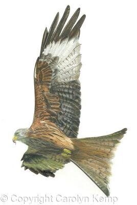 27. Red Kite - Enjoying the updraft