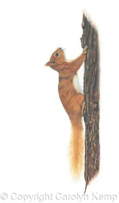 28. Red Squirrel - a quick escape