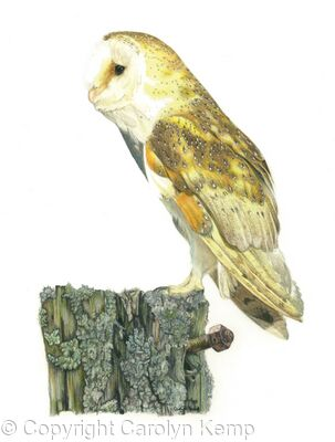 48. Barn Owl - An old rotting post.