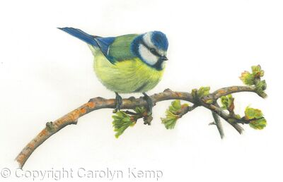 52. Blue Tit – feeling good and looking smart