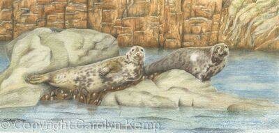 64. Grey seals – basking on the rock.