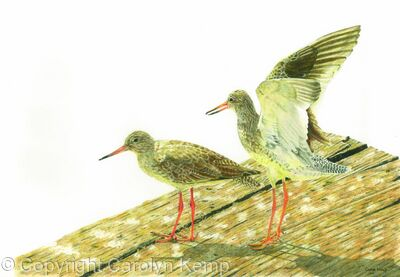 79. Redshank – Limbering up