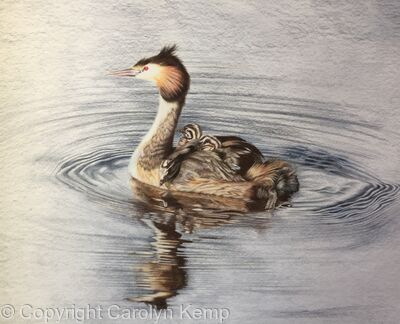 112. Great Crested Grebe -