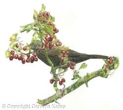 12. Blackbird - berry anyone