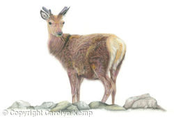 18. Red Deer - Solitary figure