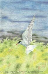 67. Artic Tern – Coming into land