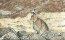 71. Mountain Hare - Fully alert