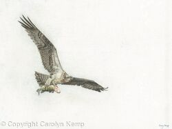 81. Osprey – Feeding Young