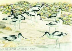 87. Avocet - Enjoying the beach
