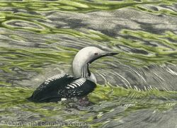 90. Black-throated Diver - Solitude