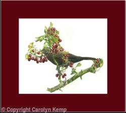 12. Blackbird - berry anyone?