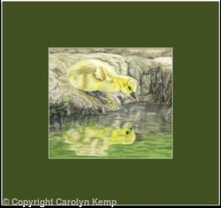 57. Canada Goose Chick - a beautiful gosling