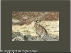 71. Mountain Hare - Fully alert