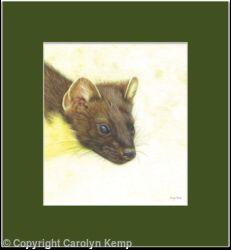 72. Pine Marten – An able hunter