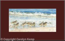 75. Shelduck Ducking – morning stroll