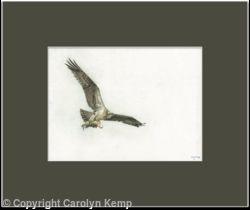 81. Osprey – Feeding Young