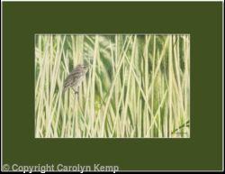 84. Sedge Warbler – A gentle breeze.