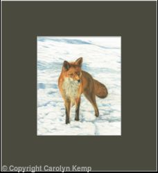 88. Fox - Foraging in the snow
