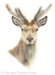 17. Red Deer - Always alert