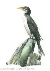 37. Cormorant - Waiting for the tide.