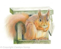 45. Red Squirrel - Straight at the camer