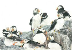 47. Puffins - A safe place.