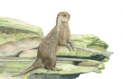 51. Otter - Vantage point.