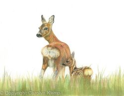 56. Roe Deer – Mother and child.