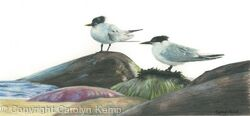 68. Sandwich Terns – Taking a breather