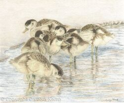 76. Shelduck Ducklings – Staying together.