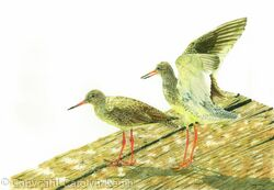 79. Redshank – Limbering up