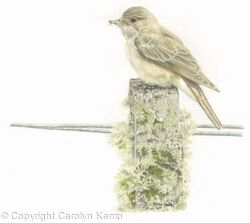85. Spotted Flycatcher – Small Pickings