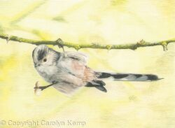 89. Long-tailed Tit - I'd do anything for a nut