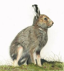 92. Mountain Hare - Kitted out for summer