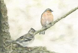 100. Chaffinches - Resting Finches
