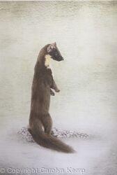 104. Pine Marten - Curiosity
